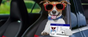 A dog holding a drivers license